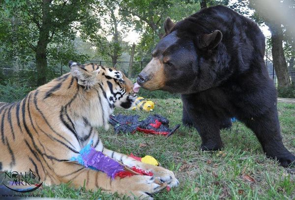 How A Lion Tiger And Bear Became RideOrDie Friends HuffPost - Lion tiger bear best friends