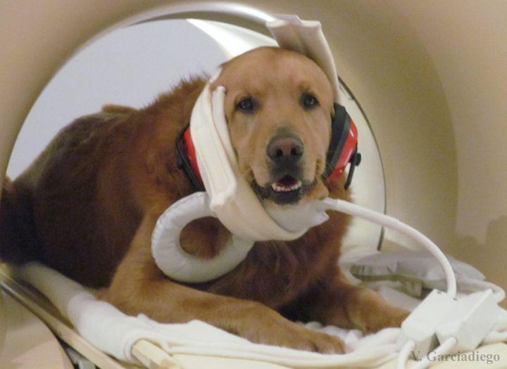 A golden retriever inside an fMRI scanner wearsearmuffs to help protectits ears.