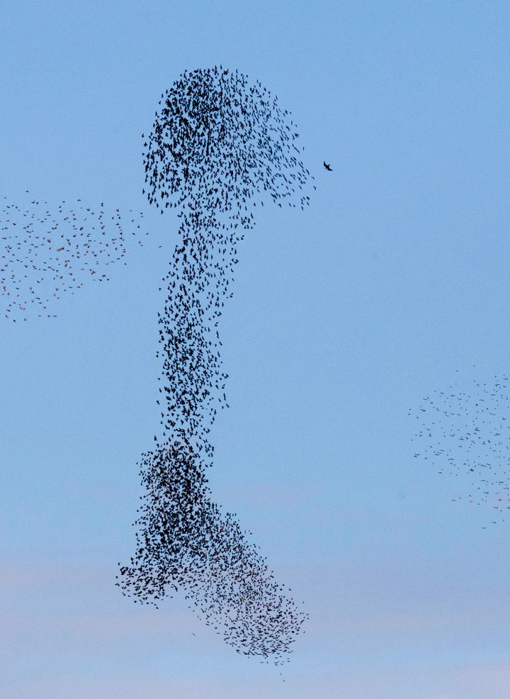 The starlings' penis formation truly reaches for the sky.