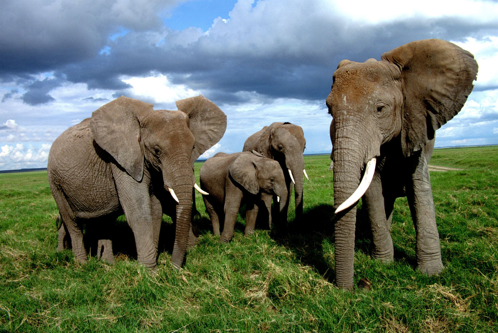 Thousands of African elephants are killed each year, often for nothing more than their tusks.