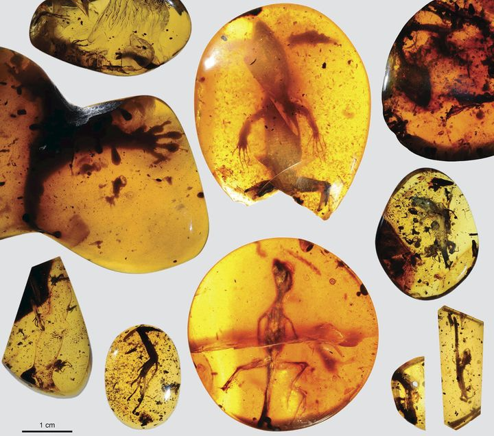 Various lizard specimens are shown preserved in ancient amber from present-day Myanmar in Southeast Asia.