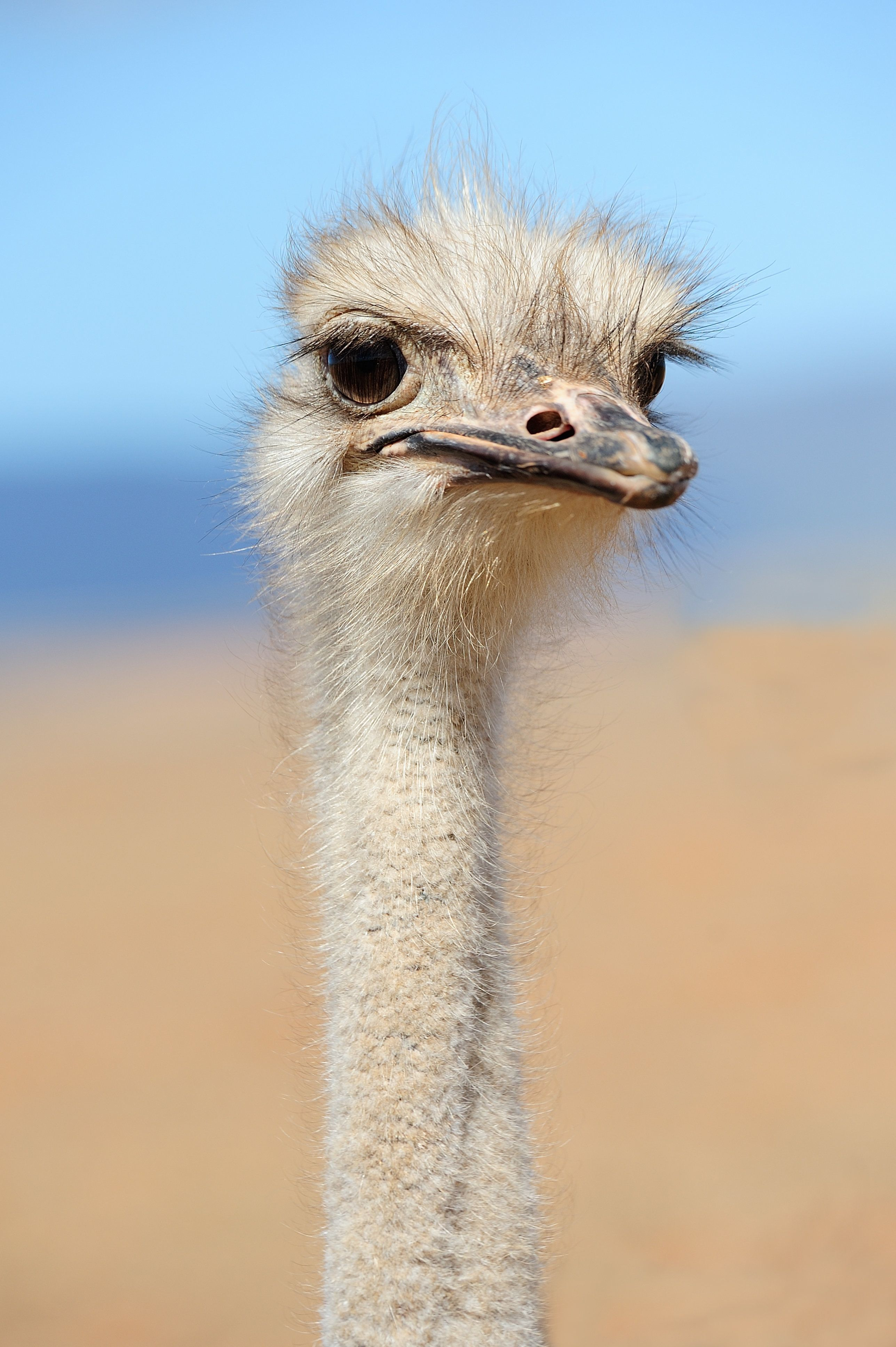 Ostrich, ostriches, flightless bird, bad hair day. blue sky, look out, attention, looking, birds head,concentration, alert, long neck,