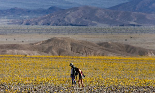 A pair of visitors tip-toe through a field of Desert Sunflowers during rare 'super bloom' of wildflowers in Death Valley Nati