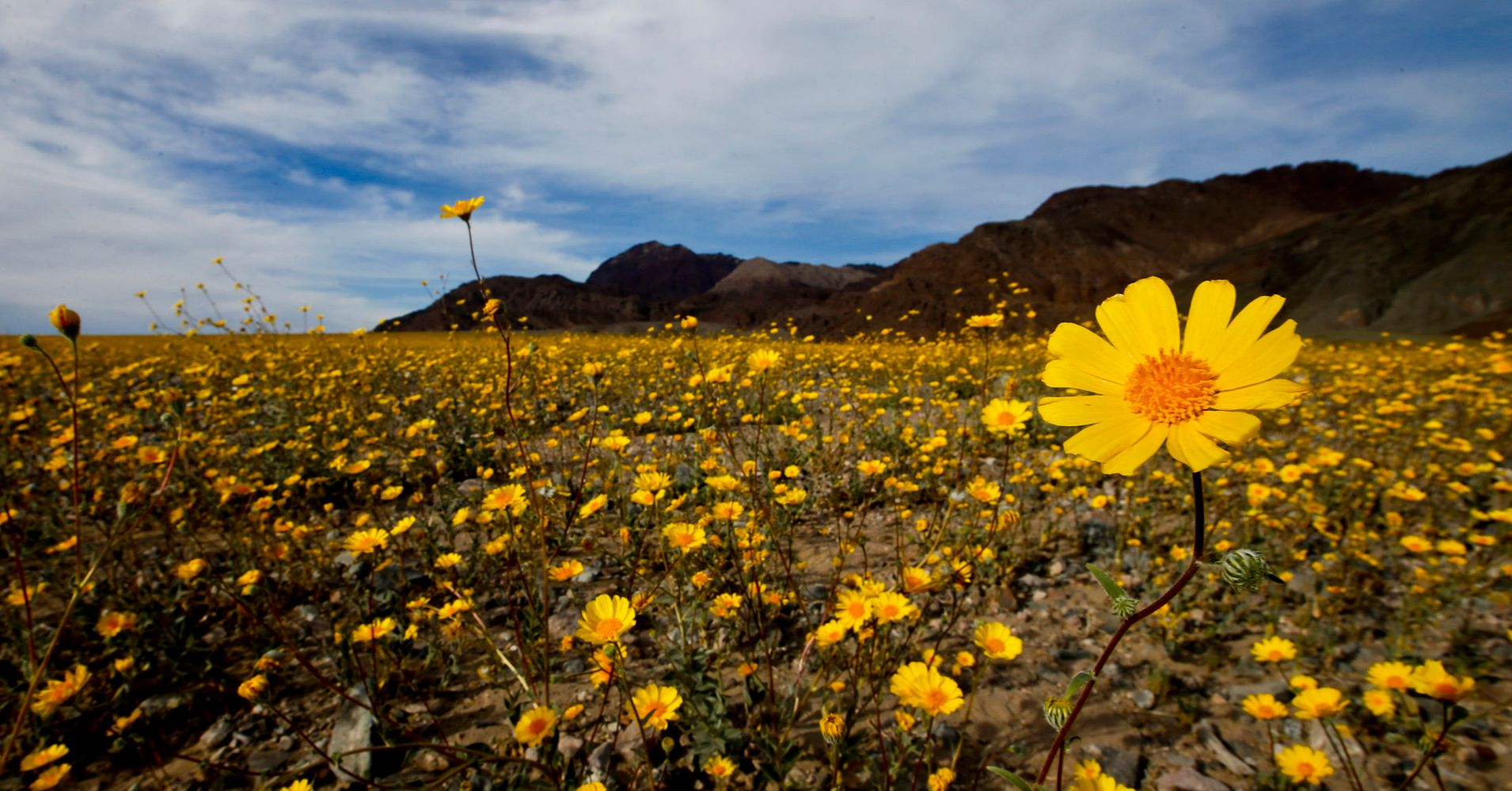 Death Valley Is Having A Rare And Magical Super Bloom Huffpost Life