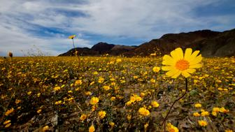 DEATH VALLEY, CA., MARCH 4: Desert sunflowers cover the desert in the Badwater Basin area off Highway 178 in Death Valley National Park. A rare 'super bloom' of wildflowers is taking place in Death Valley National Park March 4, 2016. The hottest, driest, lowest place in North America is carpeted in a sea of gold and patches of purple, attracting tourists from all over the world (Photo by Mark Boster/Los Angeles Times via Getty Images)