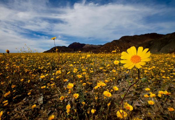 Desert sunflowers cover the desert in the Badwater Basin area off Highway 178 in Death Valley National Park.