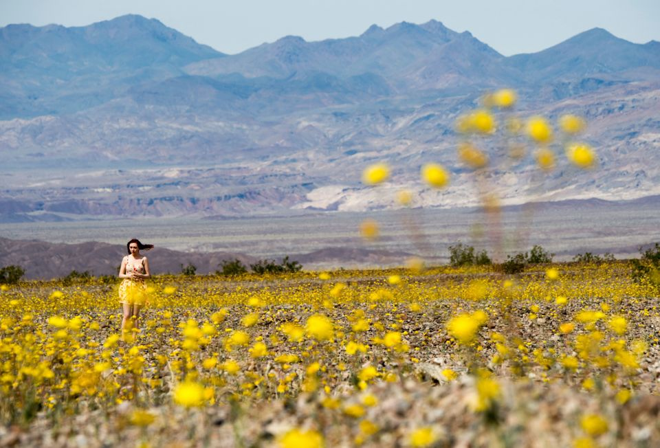 A visitor walks through a field of Desert Gold wildflowers as they carpet Death Valley, California in a rare super bloom, Mar