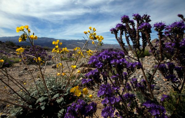 Death valley is having a rare and magical super bloom huffpost geraea canescens and phacelia crenulata offer a color wash across the desert floor during rare mightylinksfo