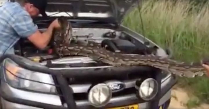 A massive python is seen being removed from a family's engine in Zimbabwe.