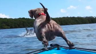 Gracie the dog goes after a dolphin.