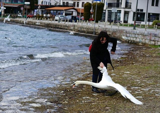 A tourist was photographed dragging a swan out of a lake for a selfie.
