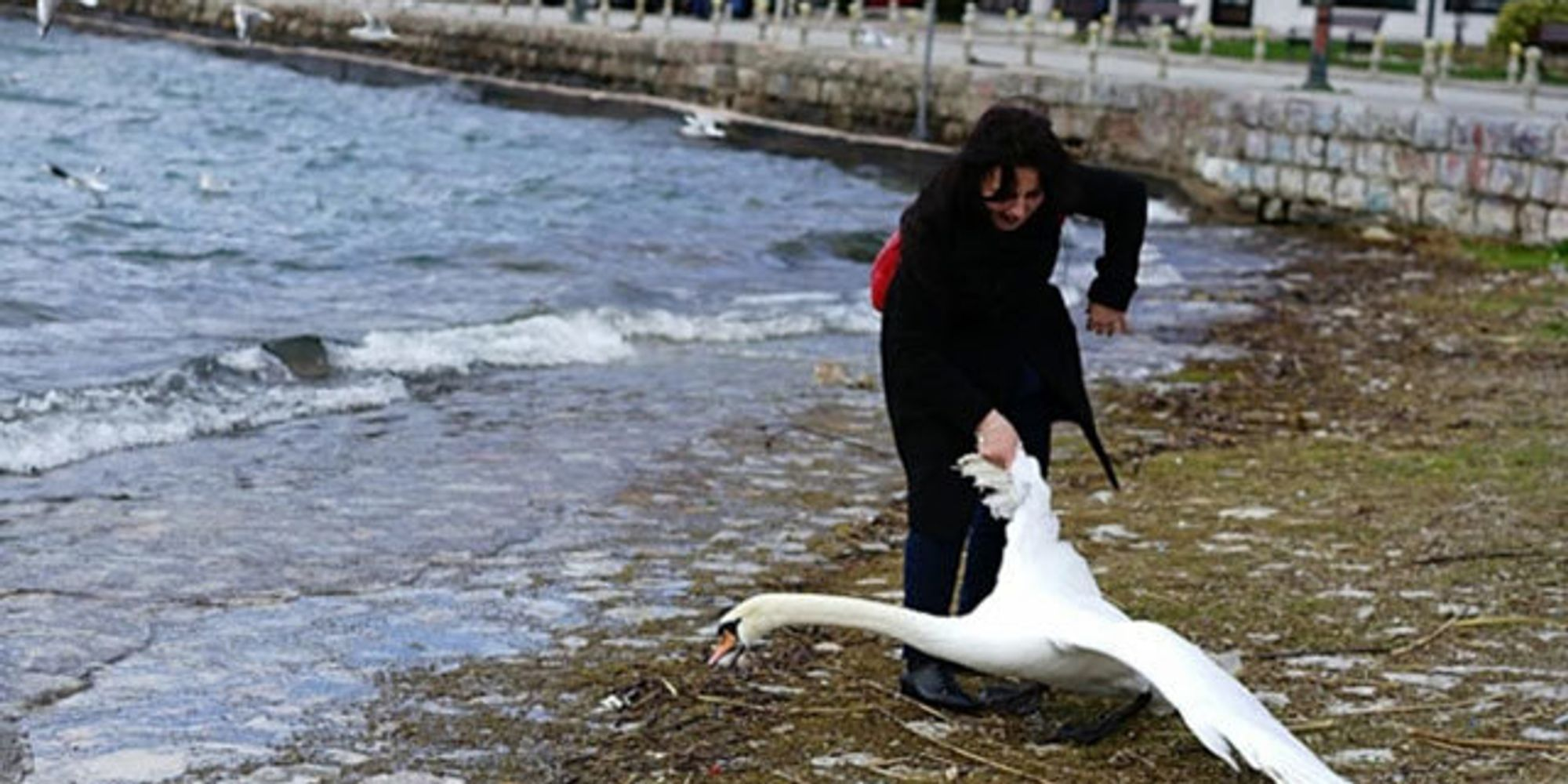 Woman Roughly Drags Swan Out Of Water By The Wing For ...