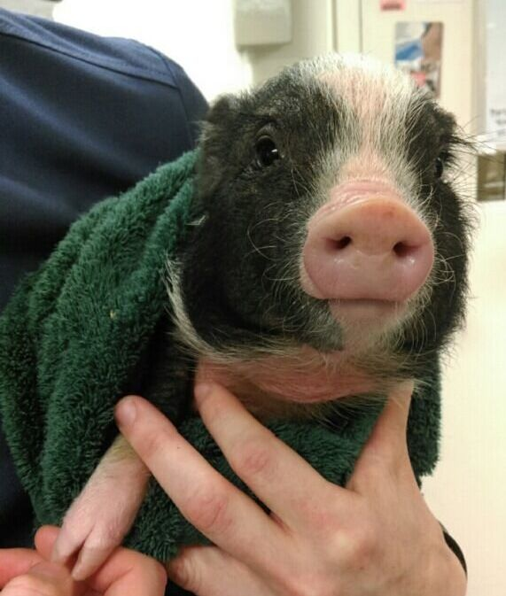 The little piglet is estimated as being just a few months old.
