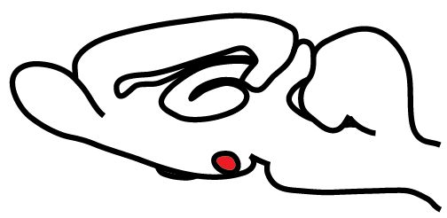 In this diagram of the mouse brain, the front of the brain is at the left. The red spot represents the