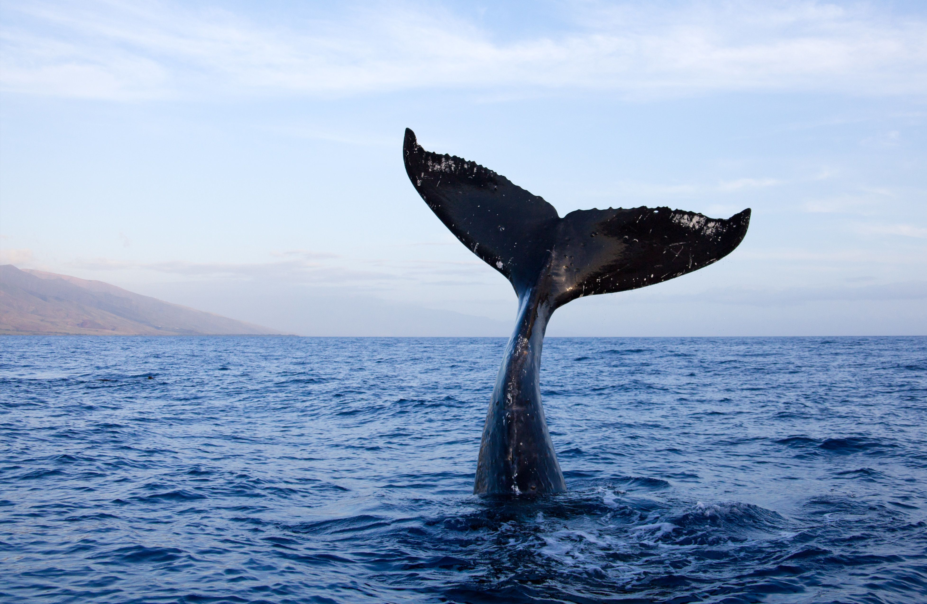 Humpback whale tail high out of water in Maui, Hawaii.