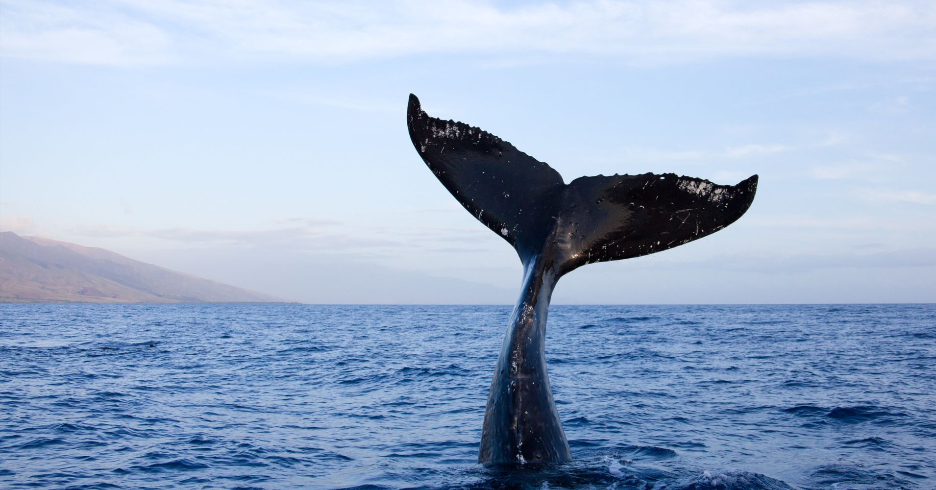 Upside-Down Whale 'Tail-Sails' Off The Coast Of Maui In ...