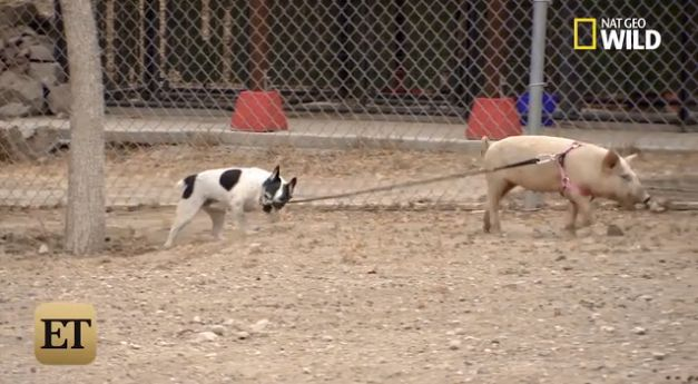 Simon, after his rehabilitation, is walked by the pig he attacked.