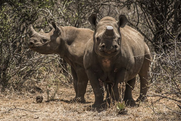 A pair of rare black rhinos, one with its horns removed as an anti-poaching measure, graze in the bush in South Africa on Dec