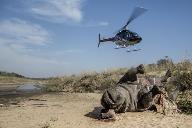 A carcass of a poached and mutilated white rhino is seen lying on the banks of a river at South Africa's...