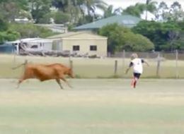 This Raging Bull Thought It Was A Substitute When It Charged A Football Game