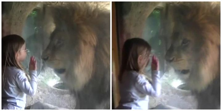 The girl stared at the lion through the glass
