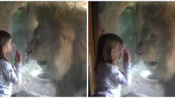 ライオンとお友達になりたかった少女。でも現実は甘くなかった(動画)