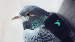 How Polluted Is Your Area? Tweet These Pigeons And They'll Tell You