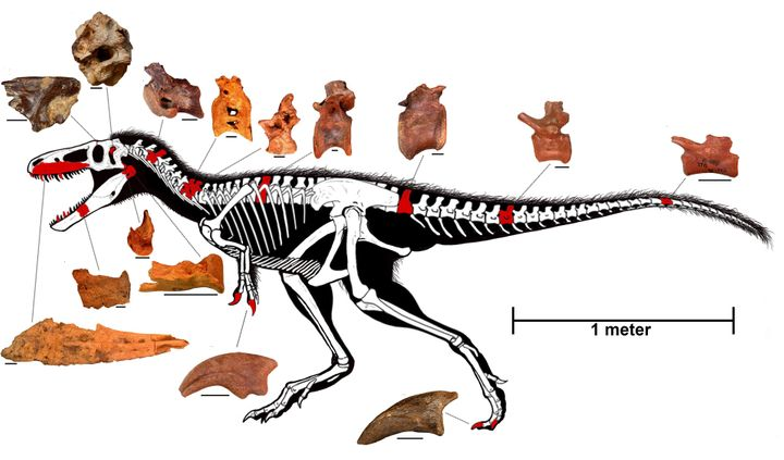 On thisreconstructed skeleton of Timurlengia euotica, bones that have been discovered already arehighlighted in r