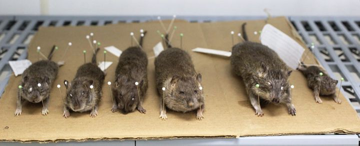 Combs says bigger rats aren't necessarily more dangerous.