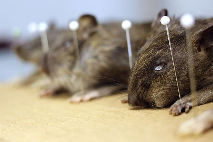"Afraid of running into a whopper rat? ""I do not think there are any 3-pound rats in the city,"" Combs says."