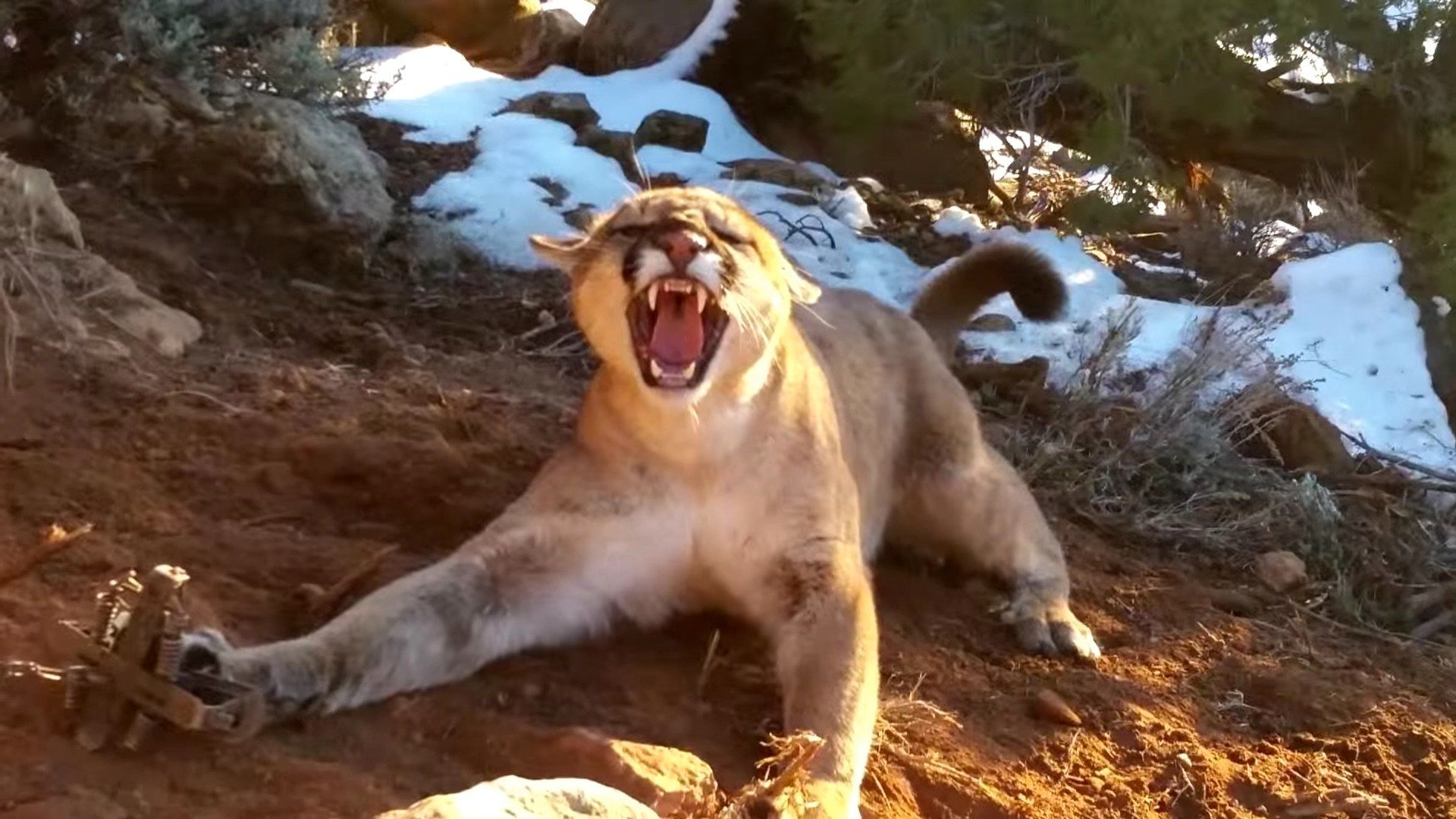 A trapped mountain lion in Utah.