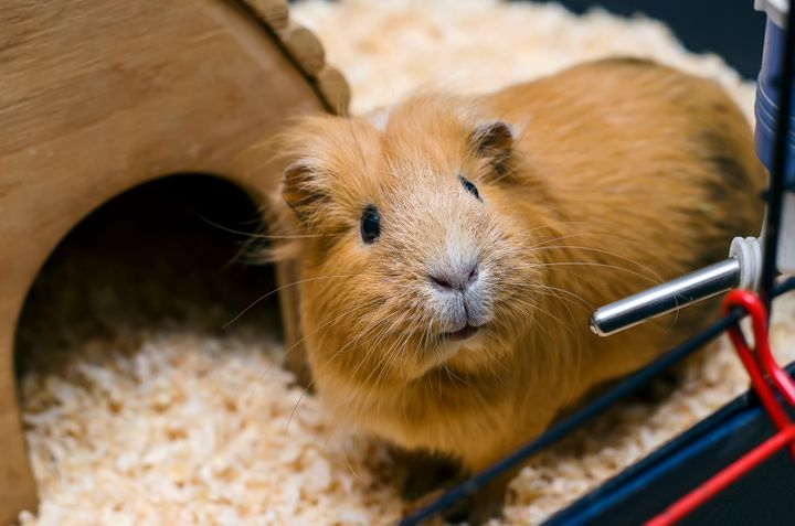 This is a guinea pig. As you can see, it looks very different from the rabbit featured in the police photographs.