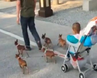 Dad Uses Five Puppies To Pull Along Son's Buggy So He Doesn't Have