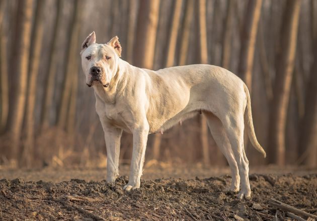 Dogo Argentino is one of four breeds it is illegal to own in the