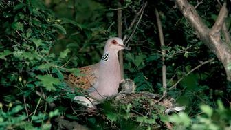 UNSPECIFIED - FEBRUARY 23: European turtle dove or Turtle dove (Streptopelia turtur), Columbidae. (Photo by DeAgostini/Getty Images)