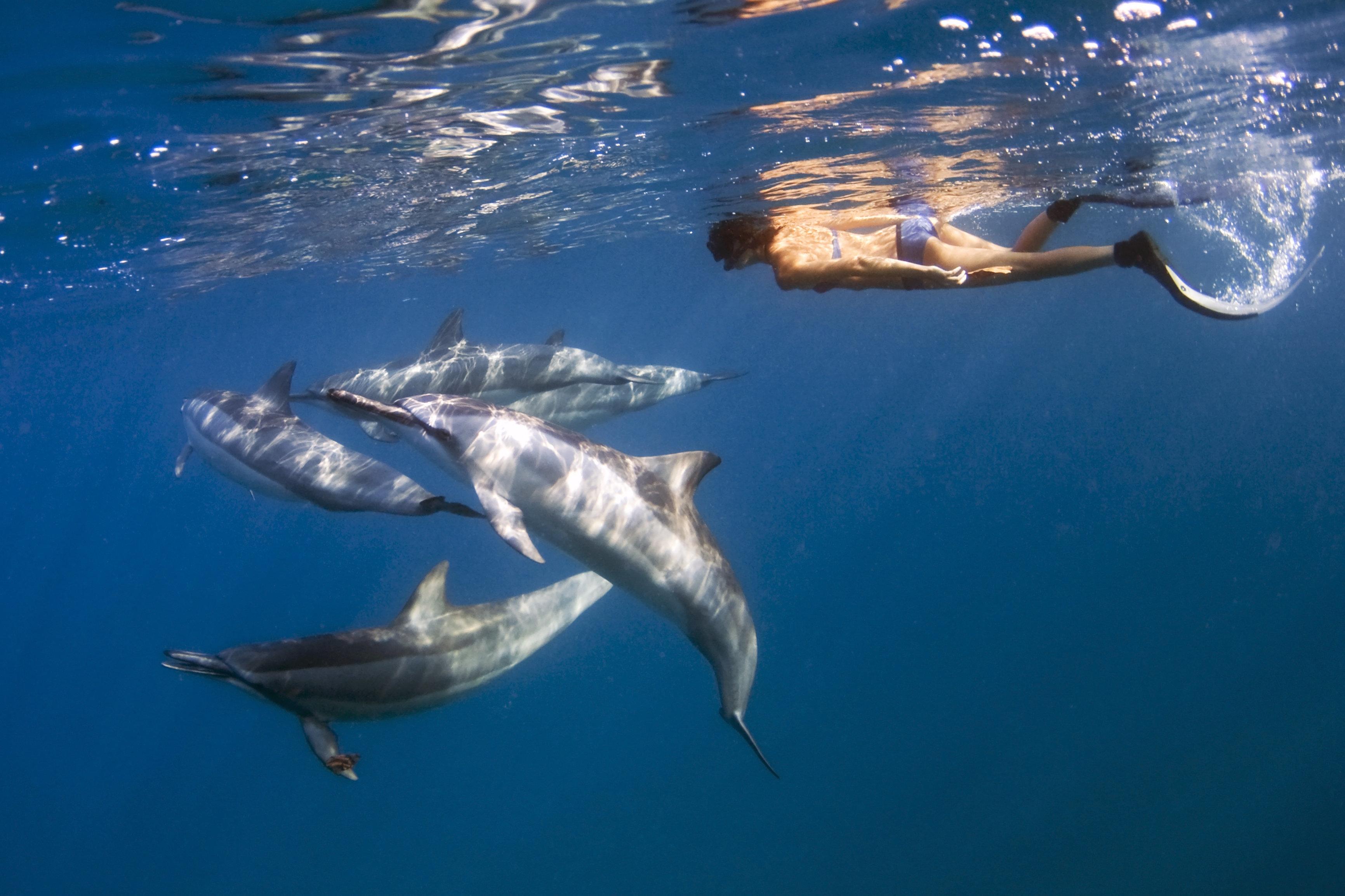 Hawaii, Big Island, Kona Coast, Hawaiian Spinner Dolphins (Stenella longirostris) swimming with free diver