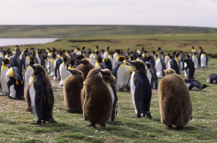A colony of King Penguins on the Falkland Islands.