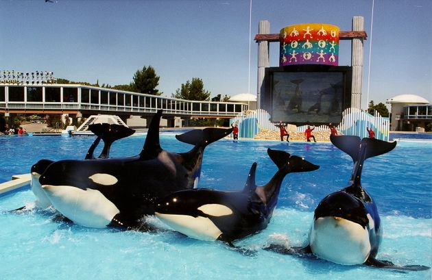 SeaWorld announces it will end orca breeding