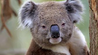 Koala, (Phascolarctos cinereus), Phillip Island, Victoria, Australia, adult on tree portrait.