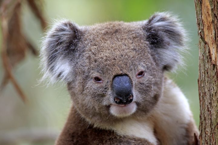 Politicians are accusing the Australian government of spending far too much money on taking diplomats to cuddle with koalas.