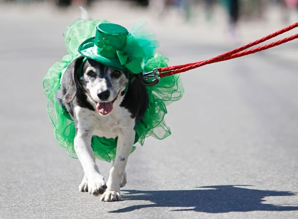 Mona the dog is dressed for the St. Patrick's Day festivities as she marches in the parade in Portland, Maine, on March 13, 2
