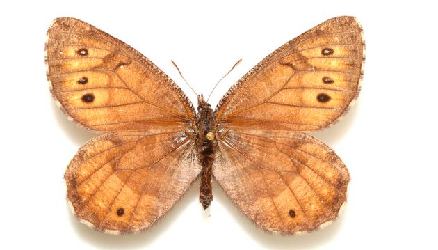 A newly discovered butterfly species, Tanana Arctic, was at a Florida museum for decades before a scientist realized it was mislabeled. Photo: University of Florida