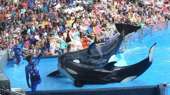 SeaWorld is heavily emphasizing conservation amid controversy over its killer whales, and it is not alone. Some aquariums around North America have begun scaling back marine mammal programs - including shows and breeding - amid controversy over keeping these animals captive. (George Skene/Orlando Sentinel/MCT via Getty Images)