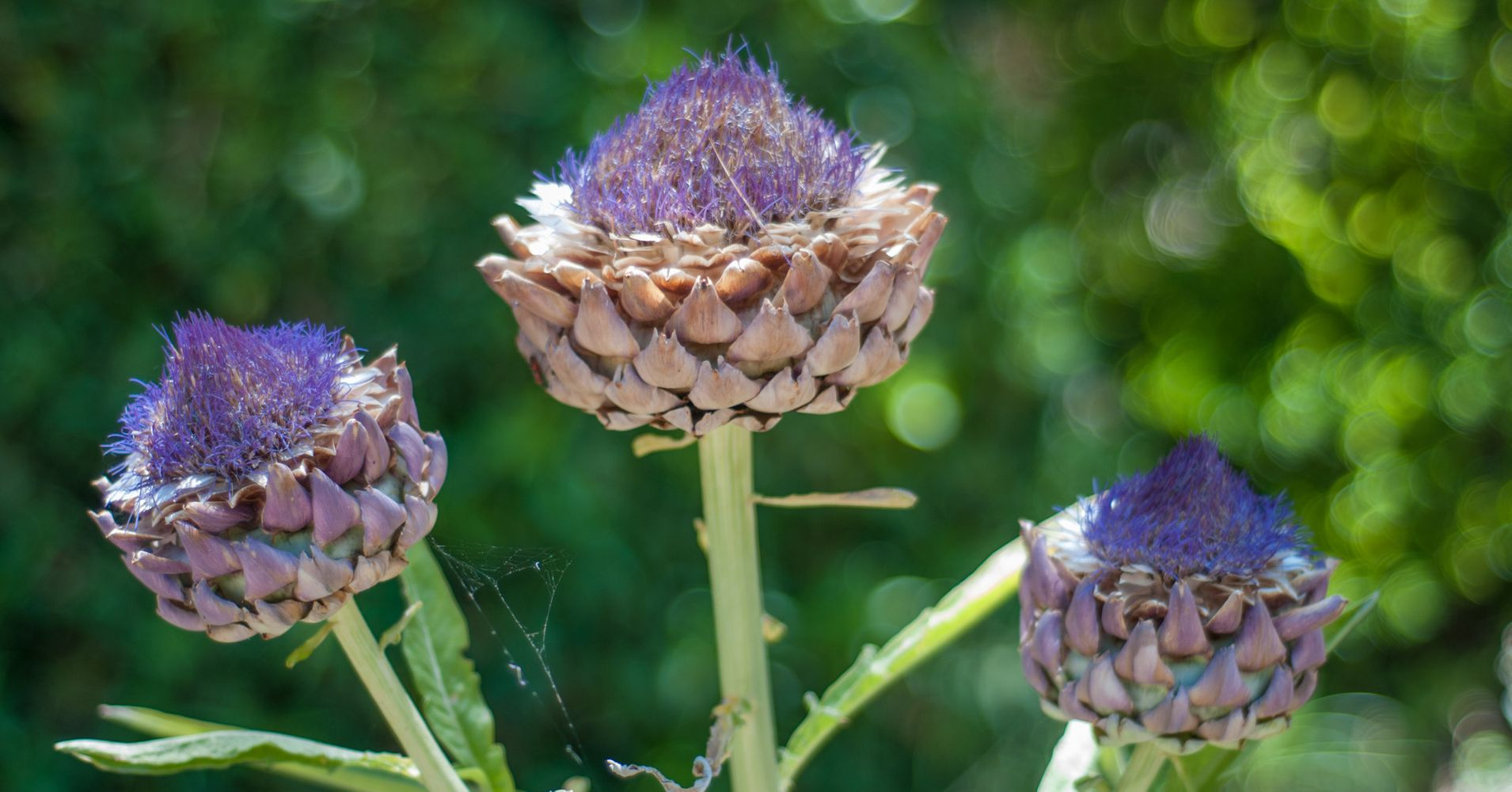 Artichokes are actually flowers and heres proof huffpost izmirmasajfo