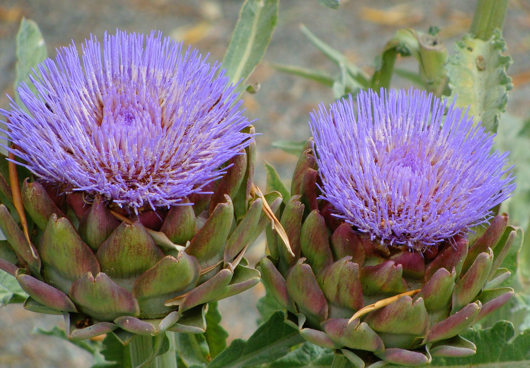 Artichokes Are Actually Flowers, And Here\u0027s Proof