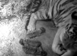 Newborn Tigers Snuggle Up To Their Mama In Adorable Debut