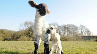 PIC FROM MERCURY PRESS/SAM ATKINS (PICTURED: Lambo and an average sized lamb, they were born 2 days apart)Meet LAMBO the massive hunky lamb born weighing nearly nearly TWO STONE or the same as a TODDLER. Farmer Neil Fell, 33, was stunned when the BAA-hemoth was born at about 10.30am on Sunday at Nafferton Farm, Brancepeth, near Durham. The 25lb - or 1st 7oz - Suffolk Cross lamb is four times bigger than normal dwarfing his woolly rivals. Neil thinks the lamb is so big it could be a world record as he thinks it tips the scales higher than a previous holder in 2013 at 24lbs. SEE MERCURY COPY
