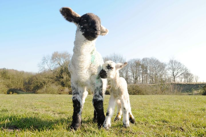 Tyson and another lamb, born just two days apart.