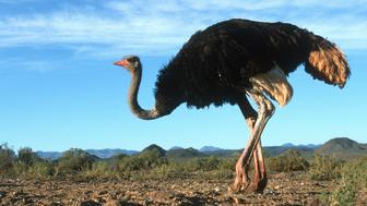 Male Ostrich (Struthio camelus) side view, Africa