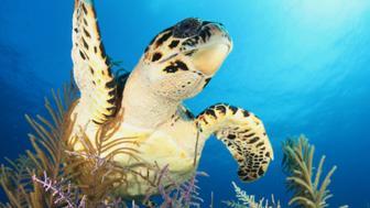 Sea turtle off the coast of Cuba.